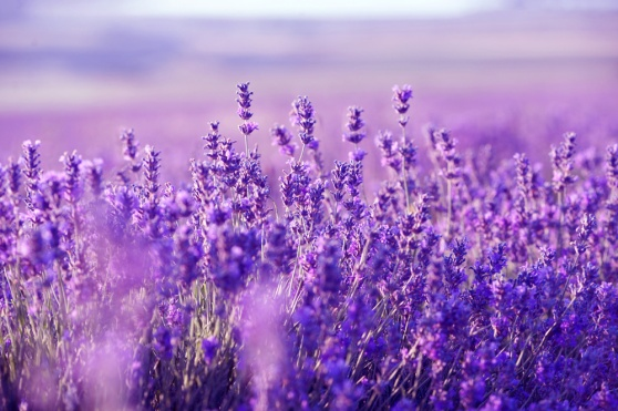 lavender_field_flowers