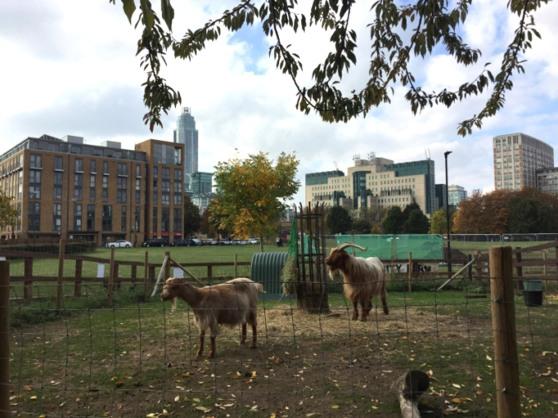 vauxhall-city-farm-goats