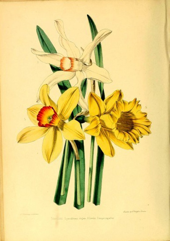 daffoldil-botanical-1000px-2-387x550